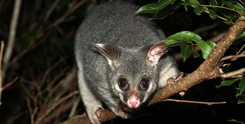 Possum Removal Melbourne
