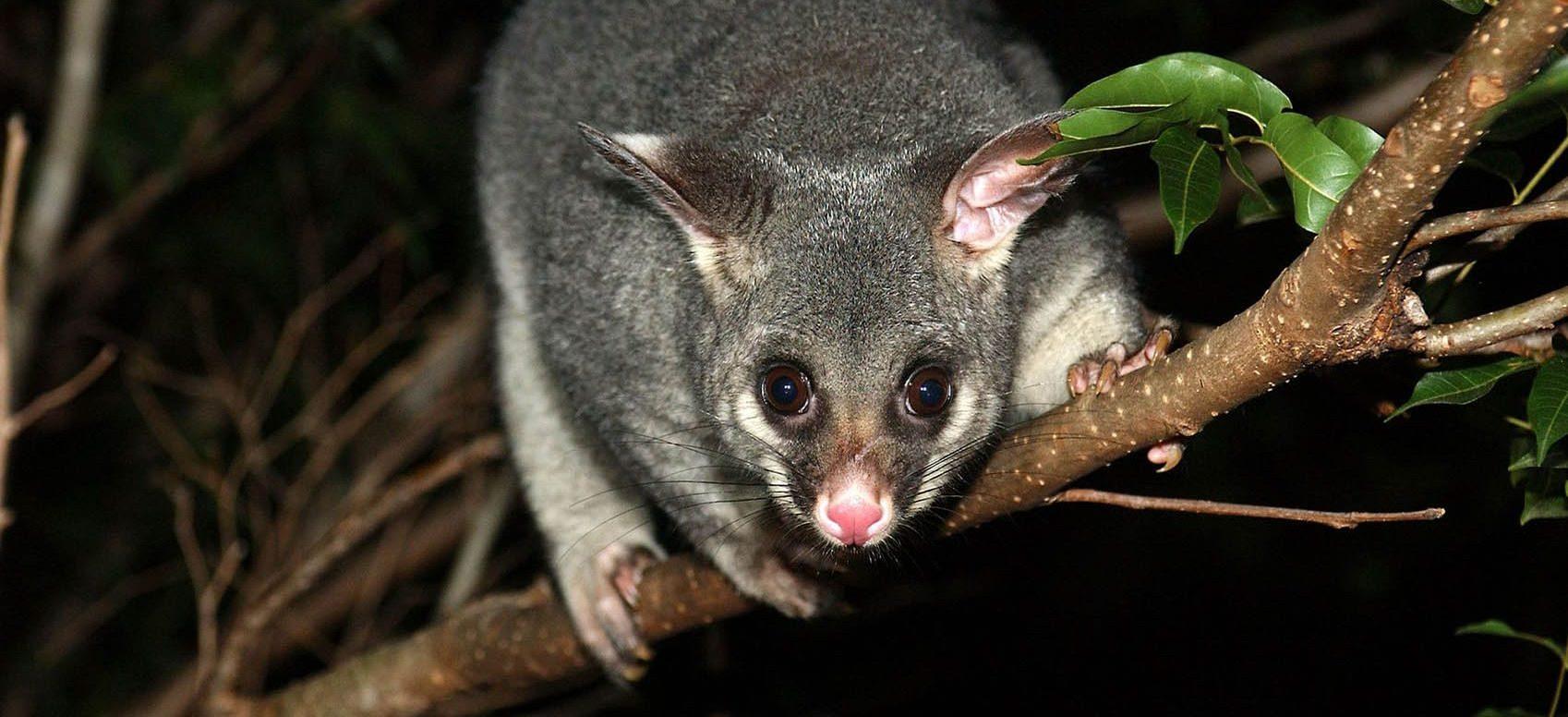 Possum pest control Melbourne eastern suburbs