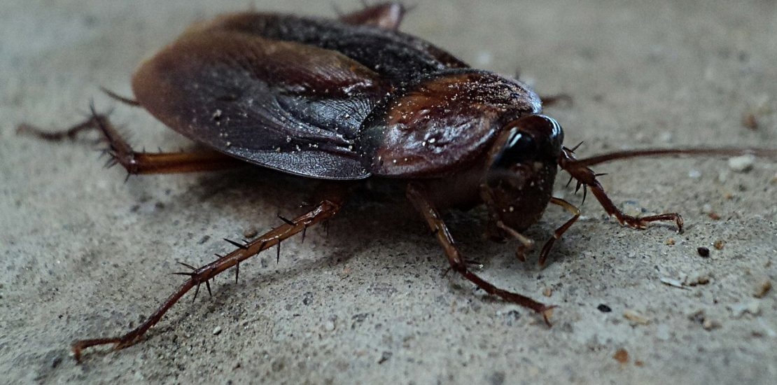 Do Cockroaches Fly?