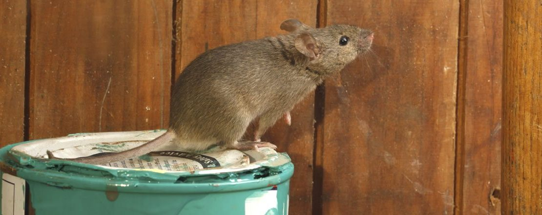 Damaging Rodents