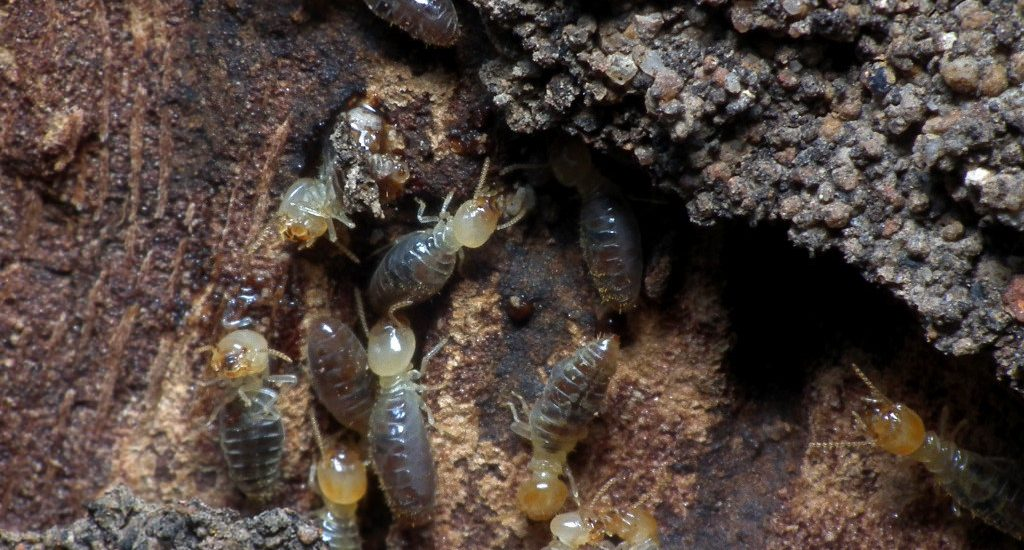 signs of termites in trees