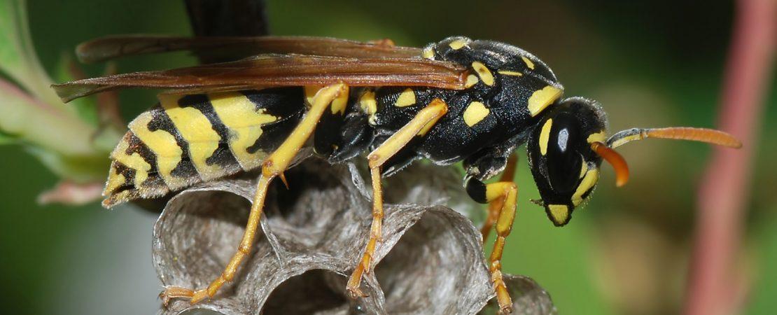 Wasp control-cannon pest management