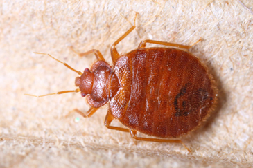 Bed Bug Treatment Melbourne