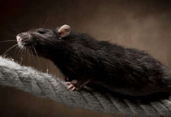 Rodent control-cannon pest management