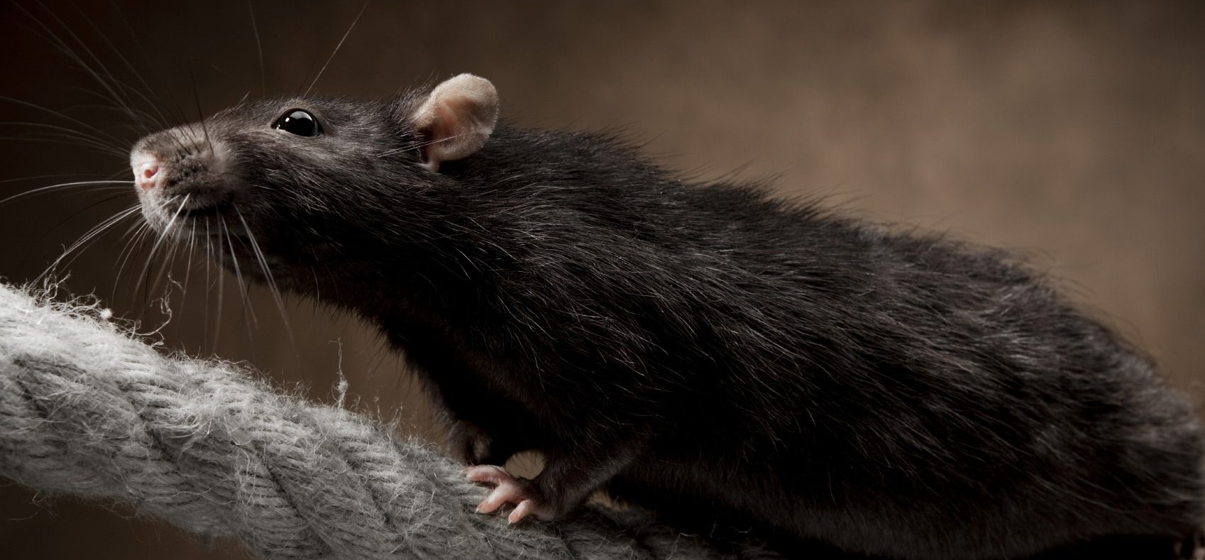Rodent pest control Melbourne eastern suburbs