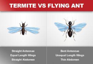 Flying termites vs flying ants