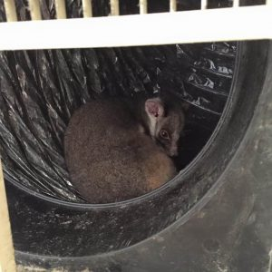 possum removal doncaster