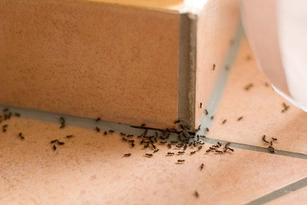 ant infestation removal melbourne