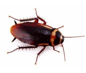 australian cockroach control
