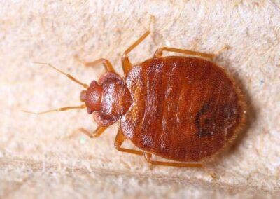 Bed Bug Treatment Melbourne
