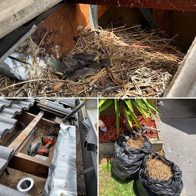 bird nest removal in Melbourne