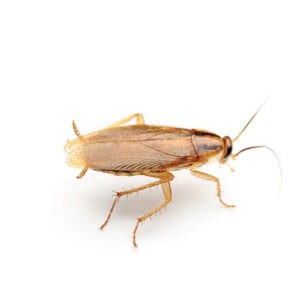 german cockroach control