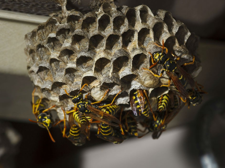 wasp colony removal in melbourne