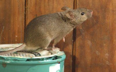 Damaging Rats & Mice