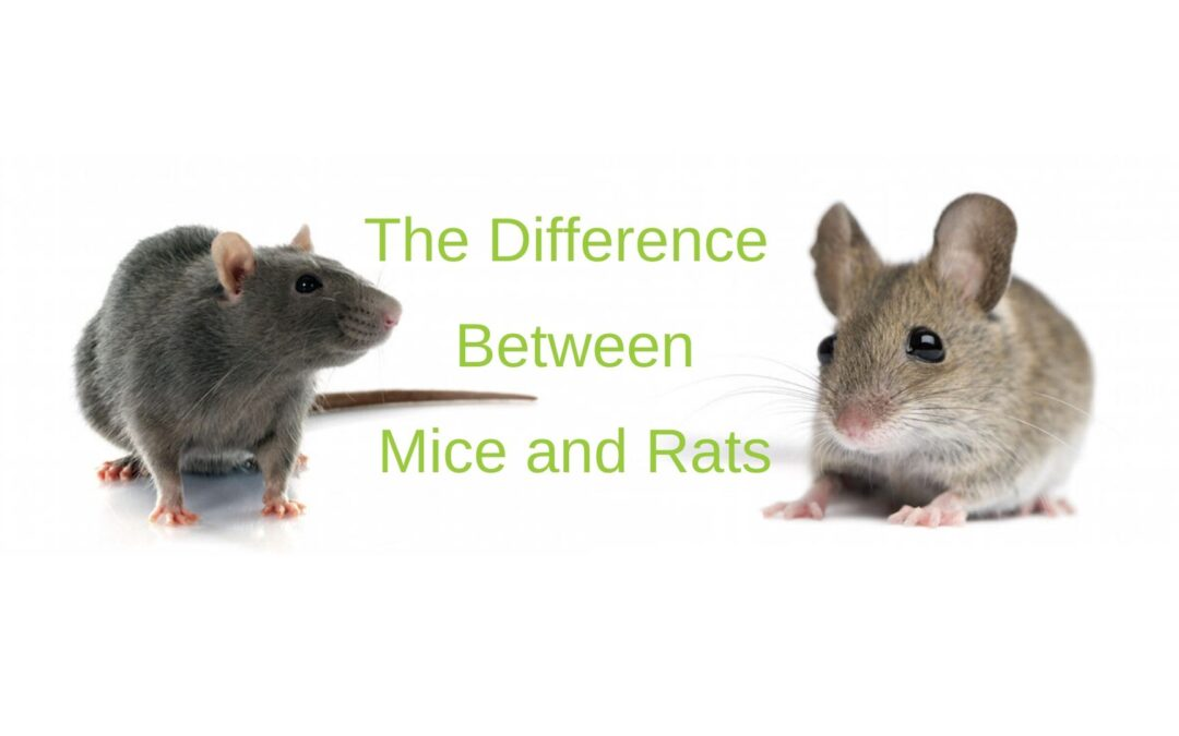 difference between mice and rats banner