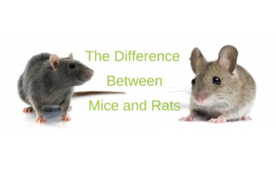 5 Important Differences Between Mice and Rats