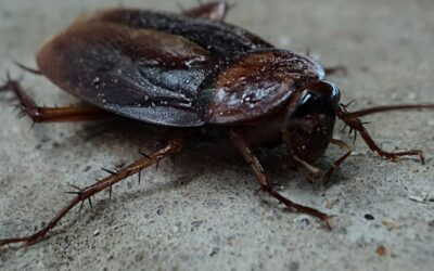 Do Cockroaches Fly? 6 Flying Cockroach Questions Answered