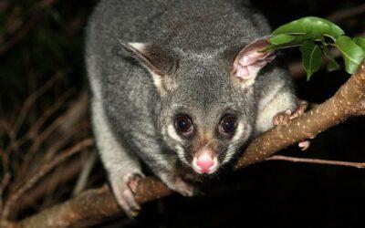 5 Easy DIY Possum Deterrents For Your Home & Garden