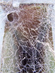 red back spider web