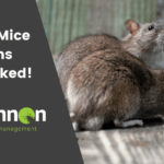 rats and mice myths