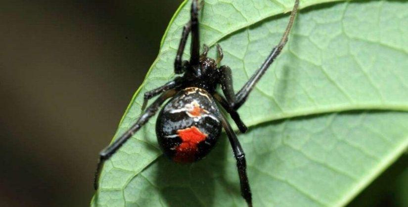 redback spider control