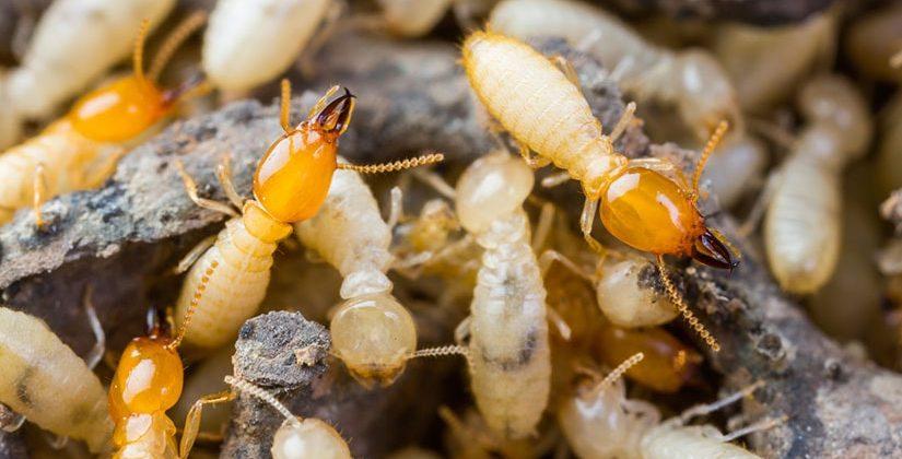 termite control melbourne