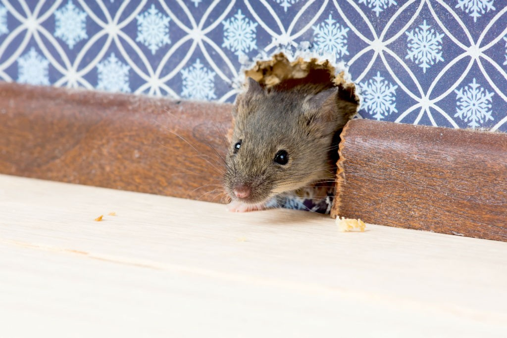 rodents pests in winter